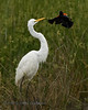 Great  Egret Conflict