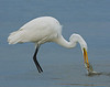 Great Egret's Lunch
