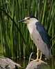 The herons are wading birds in the Ardeidae family. Some are called egrets or bitterns instead of herons. Within the family, all members of the genera Botaurus and Ixobrychus are referred to as bitterns, and—including the Zigzag Heron or Zigzag Bittern—are a monophyletic group within the Ardeidae. However, egrets are not a biologically distinct group from the herons, and tend to be named differently because they are mainly white or have decorative plumes