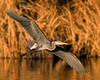 The Great Blue Heron, Ardea herodias, is a wading bird in the heron family Ardeidae, common over most of North and Central America as well as the West Indies and the Galápagos Islands, except for the far north and deserts and high mountains where there is no water for it to feed in.