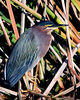 Green Heron The herons are wading birds in the Ardeidae family. Some are called egrets or bitterns instead of herons. Within the family, all members of the genera Botaurus and Ixobrychus are referred to as bitterns, and—including the Zigzag Heron or Zigzag Bittern—are a monophyletic group within the Ardeidae. However, egrets are not a biologically distinct group from the herons, and tend to be named differently because they are mainly white or have decorative plumes