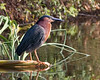 Green heron<br /> 1DMK3 The herons are wading birds in the Ardeidae family. Some are called egrets or bitterns instead of herons. Within the family, all members of the genera Botaurus and Ixobrychus are referred to as bitterns, and—including the Zigzag Heron or Zigzag Bittern—are a monophyletic group within the Ardeidae. However, egrets are not a biologically distinct group from the herons, and tend to be named differently because they are mainly white or have decorative plumes