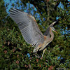 Great Blue Heron Tree Landing