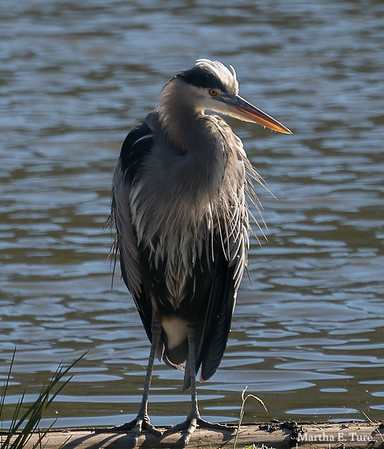 Great blue heron in breeding plumage at Lake Lagunitas