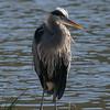 Great blue heron in breeding plumage at Lake Lagunitas