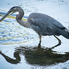 Great Blue Heron Meager Fishing Success