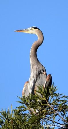Great Blue Heron, Breeding Plumage, Scouting