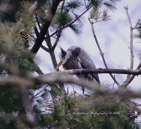 Grouchy Blue Heron at Rookery at Interstate Park