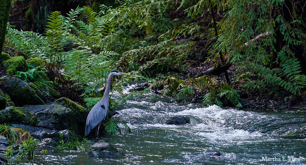 Great Blue Heron Beside the Stream