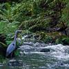 Great Blue Heron Beside the Stream