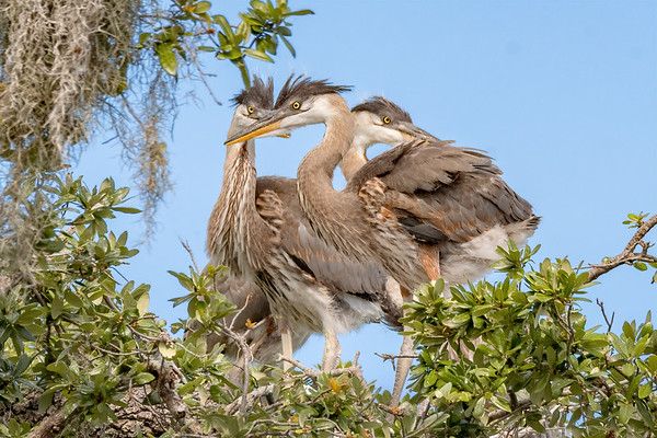 Herons and Limpkins