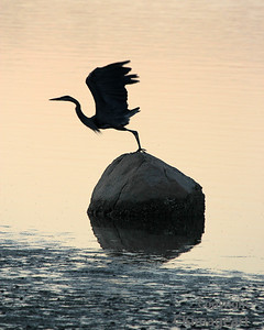 Heron Silhouette Leaving Rock