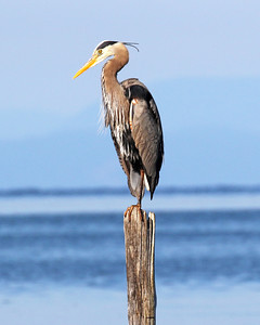 Heron on Pole