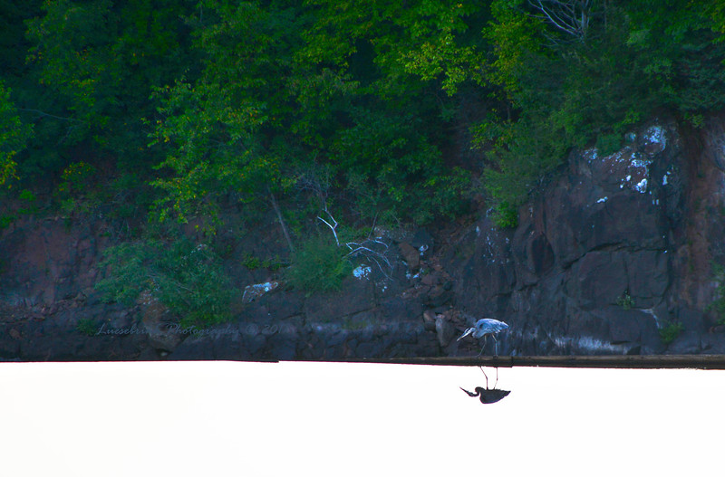 Blue Heron Reflection at St. Croix Falls Dam