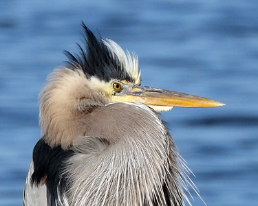 Heron Portrait Close-up