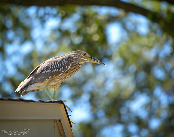 Juevenille Black Crowned Night Heron