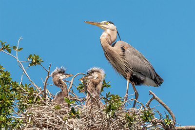 (GB47) Great Blue Herons on Nest
