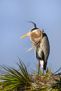 Great Blue Heron Standing on Nest at Viera Wetlands