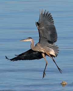 Heron Flying Landing
