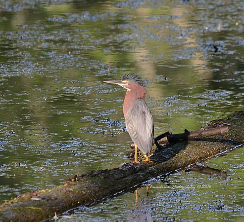 Green Heron at Interstate Park