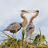 Great Blue Herons on Nest (GB21)