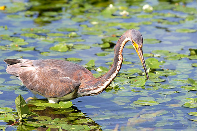 Juvenile Tri-Colored Heron at Orlando Wetlands Park