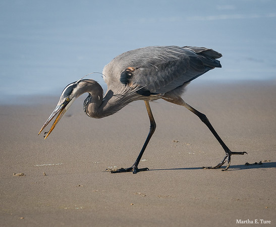 Great Blue Heron at the Shore