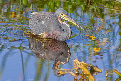 Tri-Colored Heron at the Orlando Wetlands