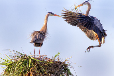 Great Blue Herons Building  Nest (Courtship) at Viera Wetlands