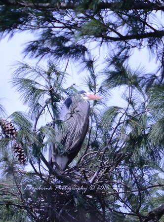 Pine Tree Blue Heron Rookery at Interstate Park
