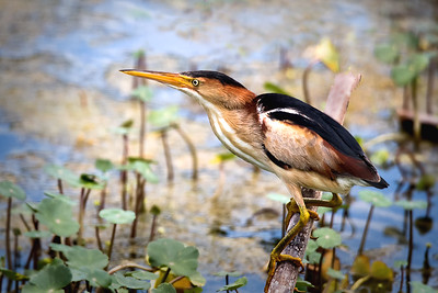 Least Bittern at Lake Apopka Wildlife Refuge