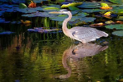 Great Blue Heron at Mead Botanical Garden