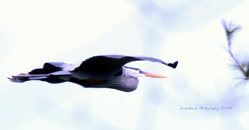 Blue Heron Bringing Back Nesting Branch