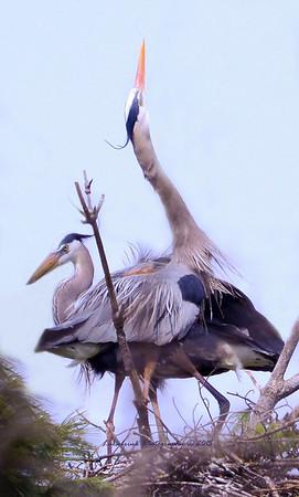 Blue Heron Rookery Interstate Park
