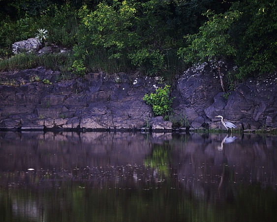 Blue Heron Hunting along the St. Croix River
