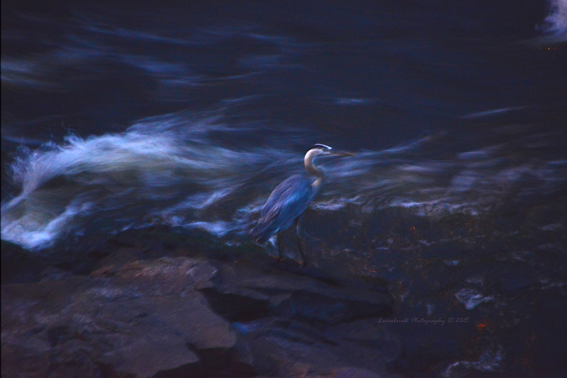 Blue Heron Under St. Croix Falls Bridge