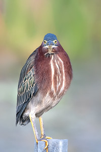 Green Heron at Orlando Wetlands Park
