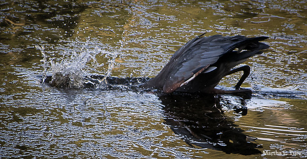Great Blue Heron Fishing Fail #1