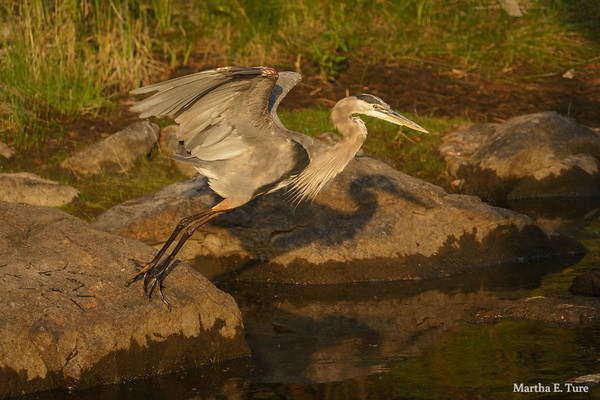 Great Blue Heron Rousing