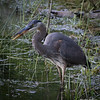 Great Blue Heron with Crawdad