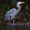 Great Blue Heron With Fish #2