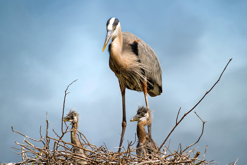 Great Blue Heron with chicks at Viera Wetlands
