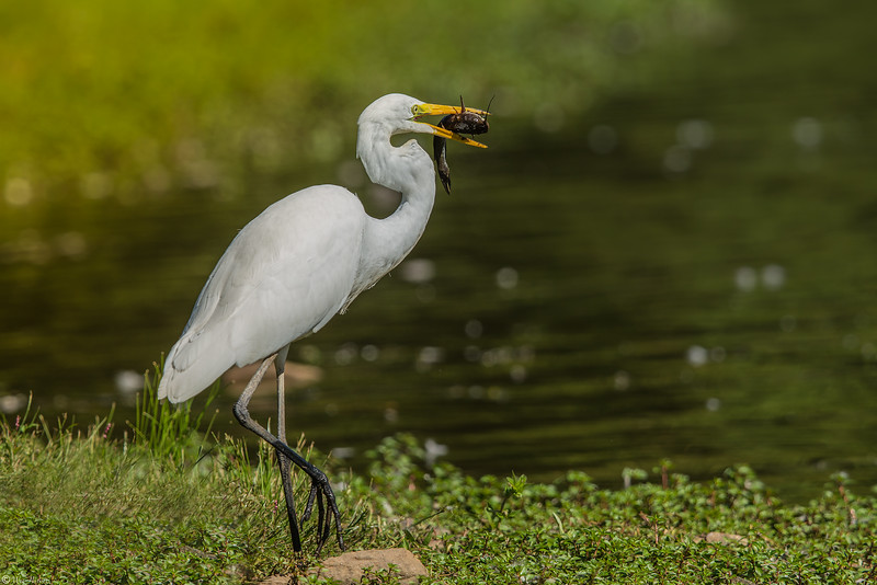 Great Egret Catfishing