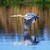 Great Egret at Cameron Wight Park, Sanford, Florida
