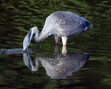 Heron Fishing Reflection