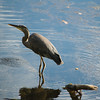Great Blue Heron, Lake Bon Tempe