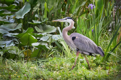 (GB25) Great Blue Heron