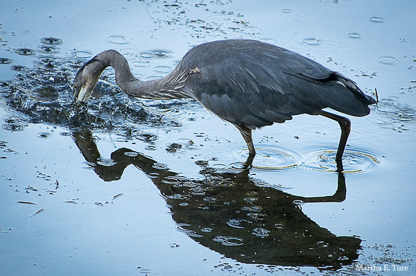 Great Blue Heron Fishing Fail #3