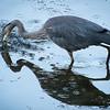 Great Blue Heron Fishing Fail #3