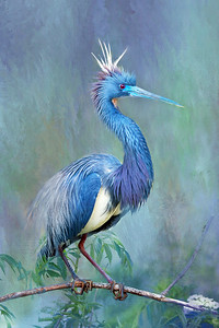 Tri-Colored Heron in Breeding Plumage